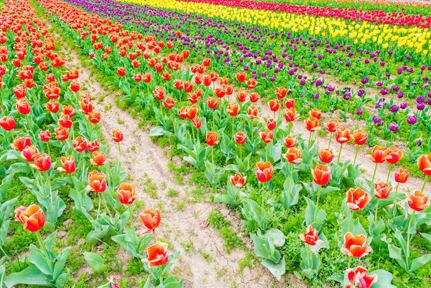 Beau bouquet de tulipes au printemps. Photo Premium