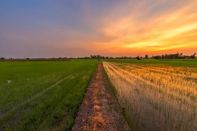 Beau champ de maïs vert avec ciel coucher de soleil. Photo Premium