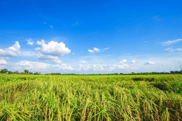 Beau champ de maïs vert avec fond de ciel de nuages moelleux. Photo Premium