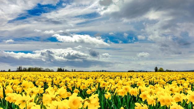 Beau Champ Recouvert De Fleurs Jaunes Avec De Magnifiques Nuages Dans Le Ciel Dans Le Photo gratuit