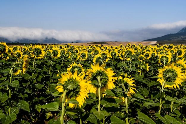 Beau champ de tournesols par une journée ensoleillée. alava, pays basque, espagne Photo Premium