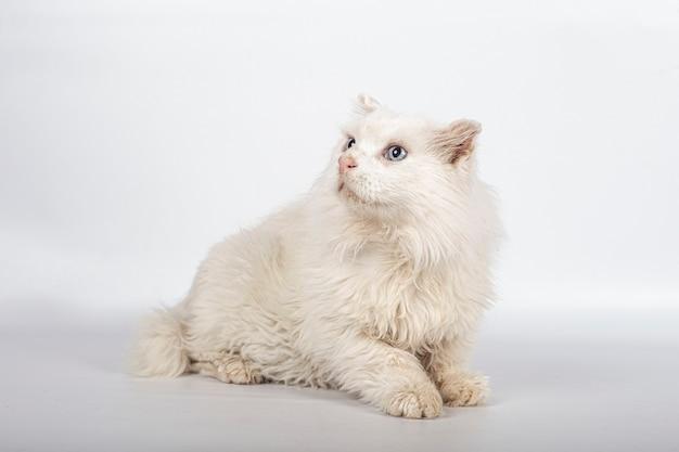 Beau Chat Blanc Pour Adoption Sur Fond Blanc Avec Espace Copie. Photo Premium