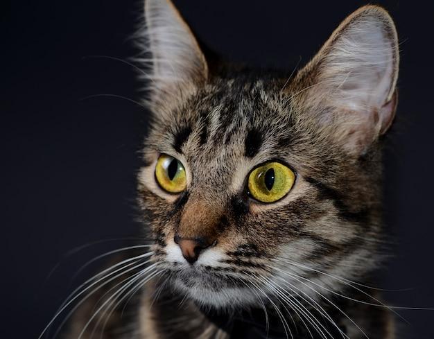 Beau chat gris aux yeux jaunes Photo Premium