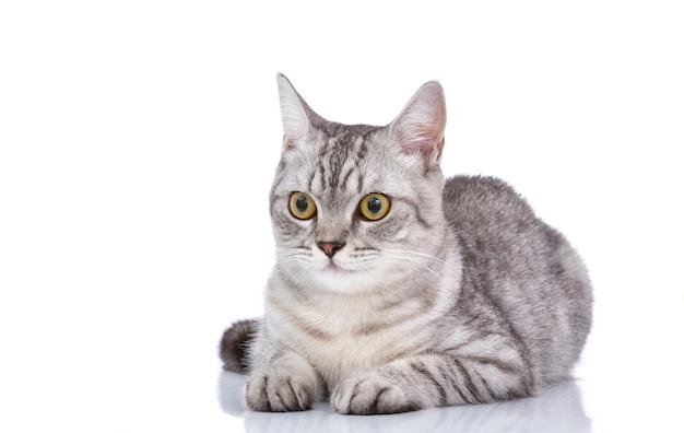 Beau chat gris isolé sur un blanc Photo Premium
