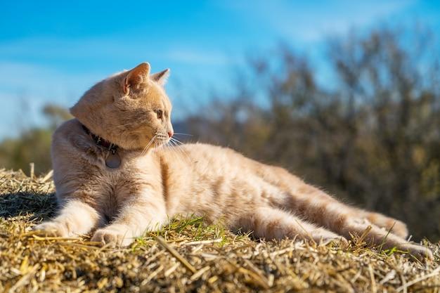 Beau chat rouge couché sur la paille dans le ciel, un jour de printemps ensoleillé Photo Premium