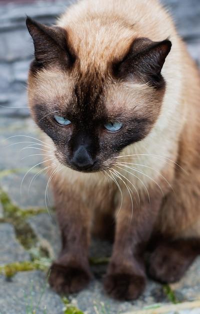 Beau Chat Siamois Assis à L'extérieur Photo Premium
