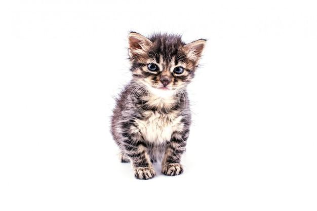 Beau chaton tabby moelleux avec de grands yeux bleus Photo Premium