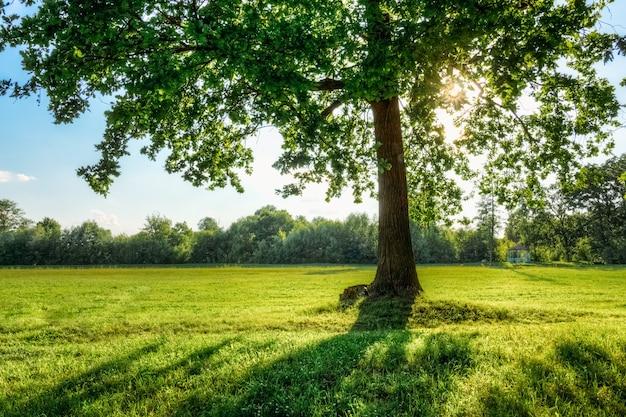 Beau chêne avec le soleil dans ses branches Photo Premium