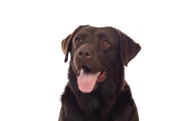 Beau chien black golden retriever Photo Premium