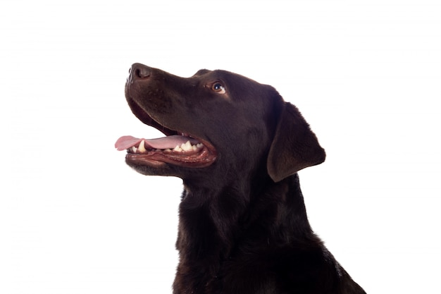 Beau chien black golden retriever Photo Premium