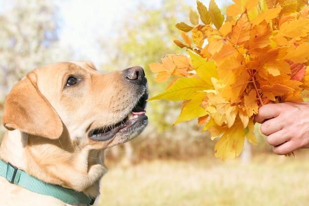 Beau chien et un bouquet de feuilles d'automne. Photo Premium