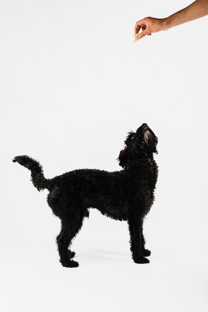Beau chien noir posant avec un fond blanc Photo gratuit