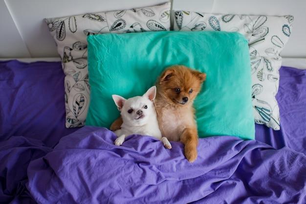 Beau Chien De Poméranie Couché Dans Son Lit Sur Un Oreiller Sous Une Couverture Avec Un Chiot Chihuahua Drôle Ensemble. Photo Premium