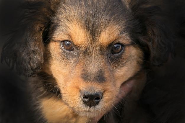 Beau chiot noir et marron regardant la caméra Photo Premium