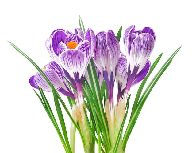 Beau Crocus - Fleurs De Printemps Fraîches. Bouquet De Fleurs De Crocus Violet. Photo Premium