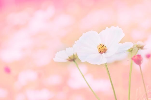 Beau jardin de fleurs de cosmos pourpre Photo gratuit