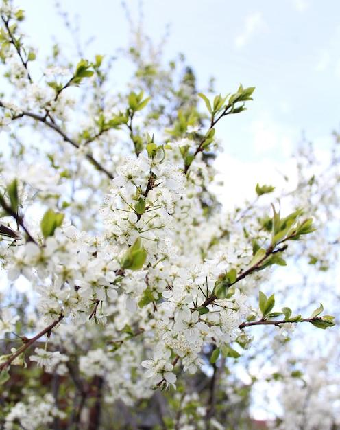 Beau jardin de pommiers de fleurs blanches Photo Premium