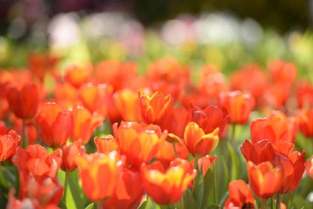 Beau jardin de tulipes rouges au lever du soleil Photo Premium