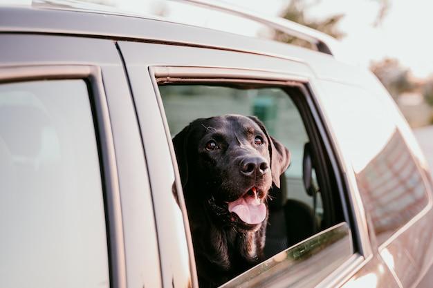 Beau Labrador Noir Dans Une Voiture Photo Premium