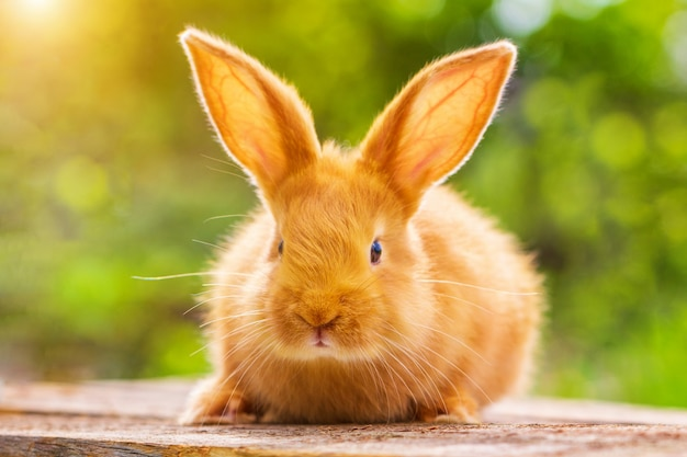 Beau lapin rouge sur fond vert naturel Photo Premium