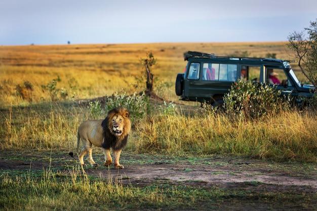 Beau lion avec une voiture de safari en arrière-plan au kenya, en afrique Photo Premium