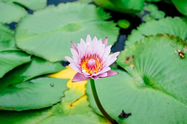 Beau lotus dans la piscine Photo gratuit