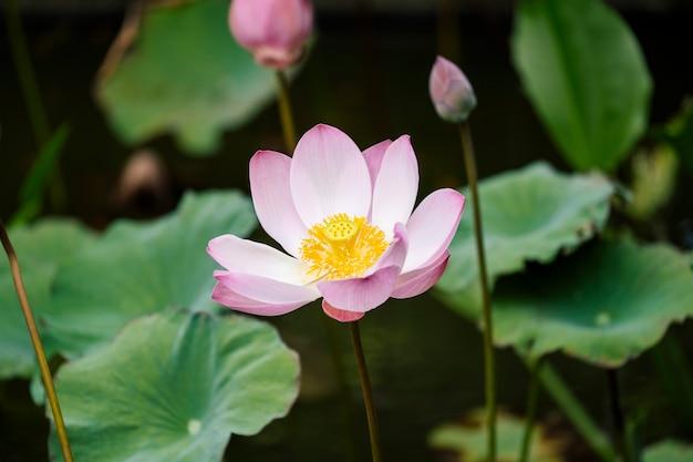 Beau lotus rose Photo gratuit