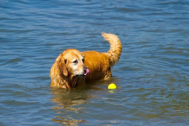 Beau mâle golden retriever jouant dans l'eau Photo Premium