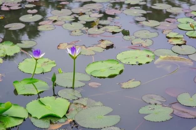 Beau nénuphar ou fleur de lotus sur l'étang Photo Premium