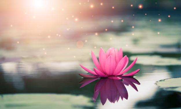 Beau Nénuphar Rose Ou Lotus Avec La Lumière Du Soleil Dans L'étang. Photo Premium