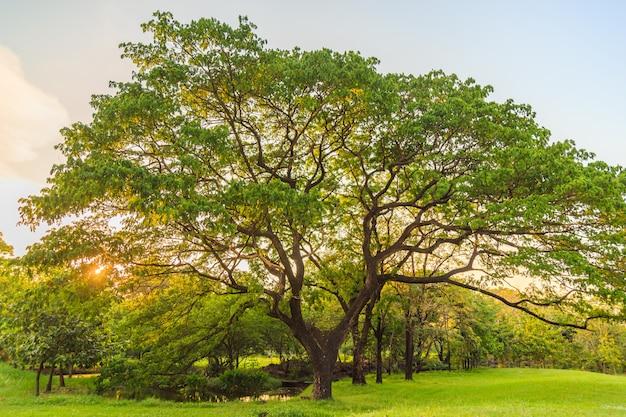Un beau noyer des indes orientales sur la pelouse du parc. Photo Premium