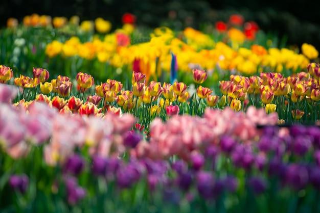 Beau Paysage D'un Champ Avec Des Tulipes Colorées Sur Un Arrière-plan Flou Photo gratuit