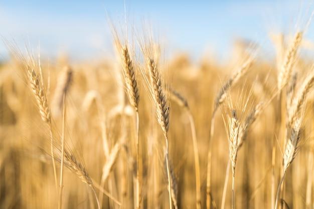 Beau paysage avec des épices de blé Photo gratuit