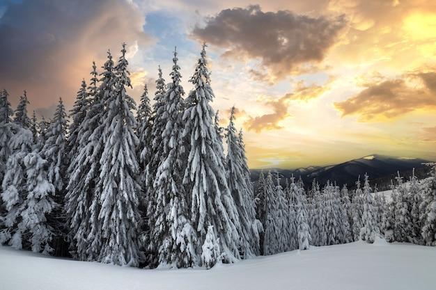 Beau Paysage De Montagne D'hiver. Grands épinettes Vert Foncé Couvertes De Neige Photo Premium