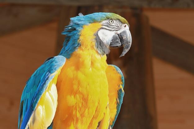 Un beau perroquet bleu et jaune Photo Premium