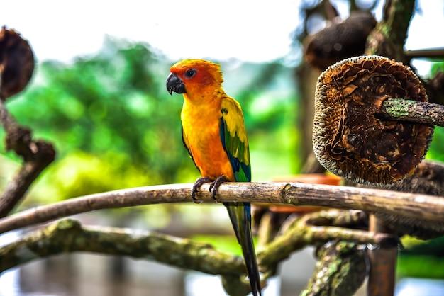 Beau perroquet, conure de soleil sur une branche d'arbre avec un arrière-plan flou. Photo Premium