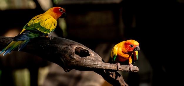Beau perroquet, sun conure sur une branche d'arbre Photo Premium