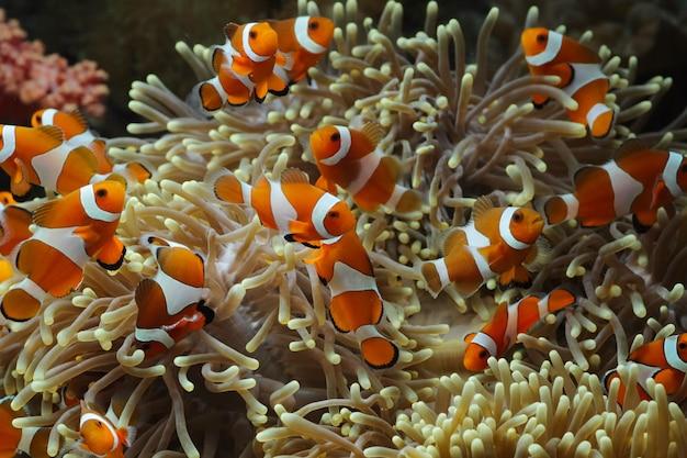 Beau Poisson Anémone Sur Le Récif De Corail, Poissons Marins Sous-marins De L'indonésie Photo Premium