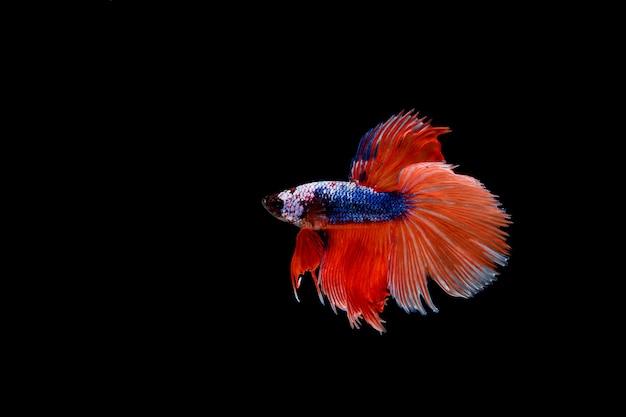 Beau poisson coloré de betta siamois Photo gratuit