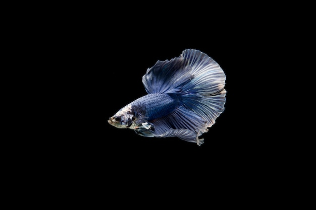 Beau poisson coloré de betta siamois Photo gratuit