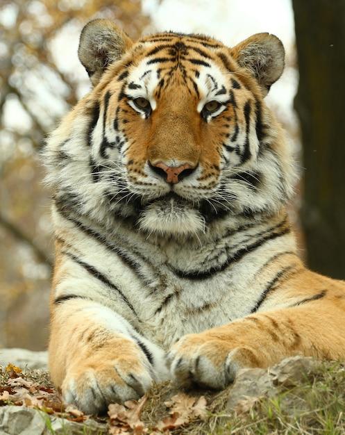 Beau Tigre Au Zoo Safari Photo Premium