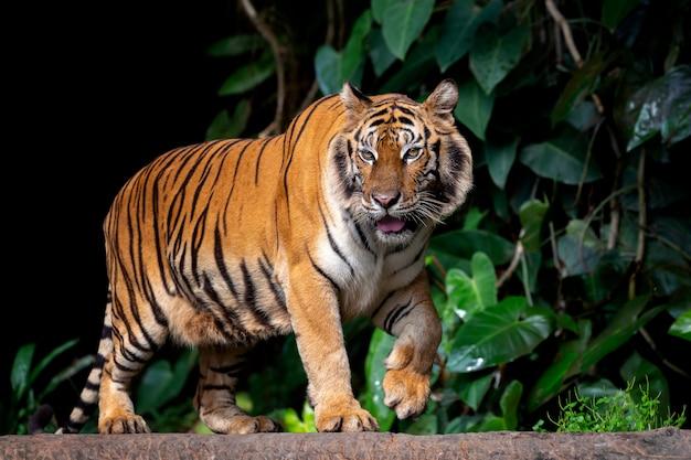 Beau Tigre De Sumatra à L'affût Photo Premium