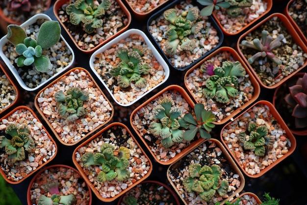 Beaucoup de succulentes en pots Photo Premium