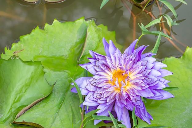 La beauté du mauve lotus bloom dans les étangs et la libellule sur la feuille. Photo Premium