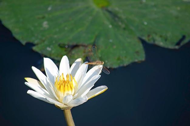 La beauté de la libellule sur le lotus blanc dans des étangs Photo Premium