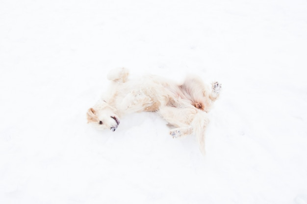 Beaux animaux de compagnie - grand golden retriever s'amusant sur une promenade d'hiver dans un parc enneigé Photo Premium