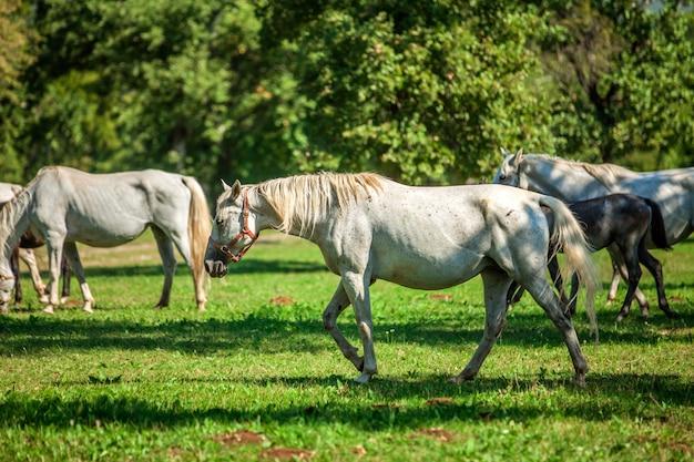 Beaux Chevaux Blancs Paissant Dans Le Lipica, Parc National En Slovénie Photo gratuit