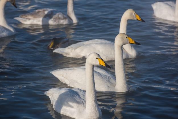 Beaux cygnes blancs Photo Premium