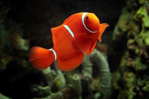 Beaux Poissons Marins Indonésie Sur Corail Tropical Photo Premium