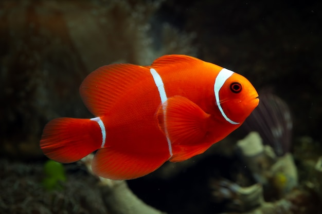 Beaux Poissons Marins Indonésie Sur Corail Tropical Photo Premium
